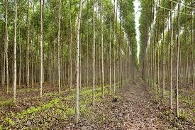Alagoinhas: Corpo de homem é encontrado em plantação de eucalipto
